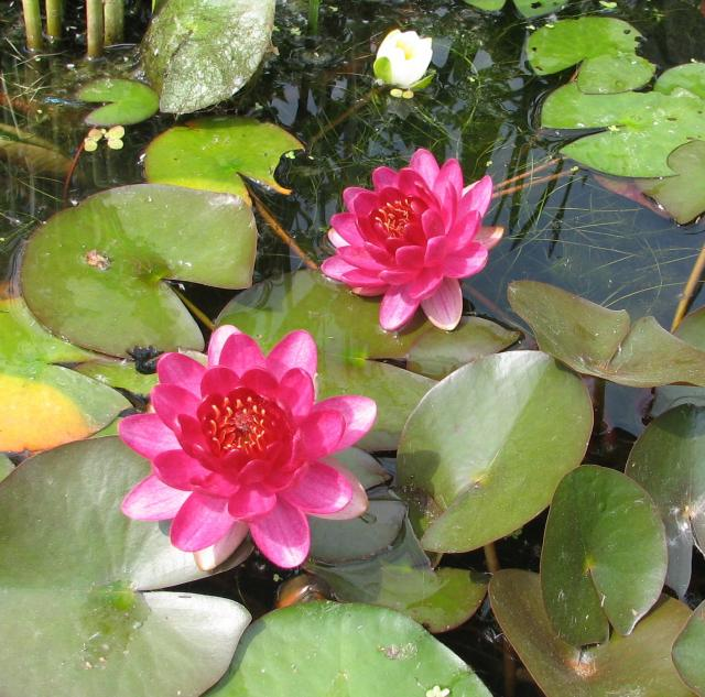 Nymphaea «Perry's Baby Red»