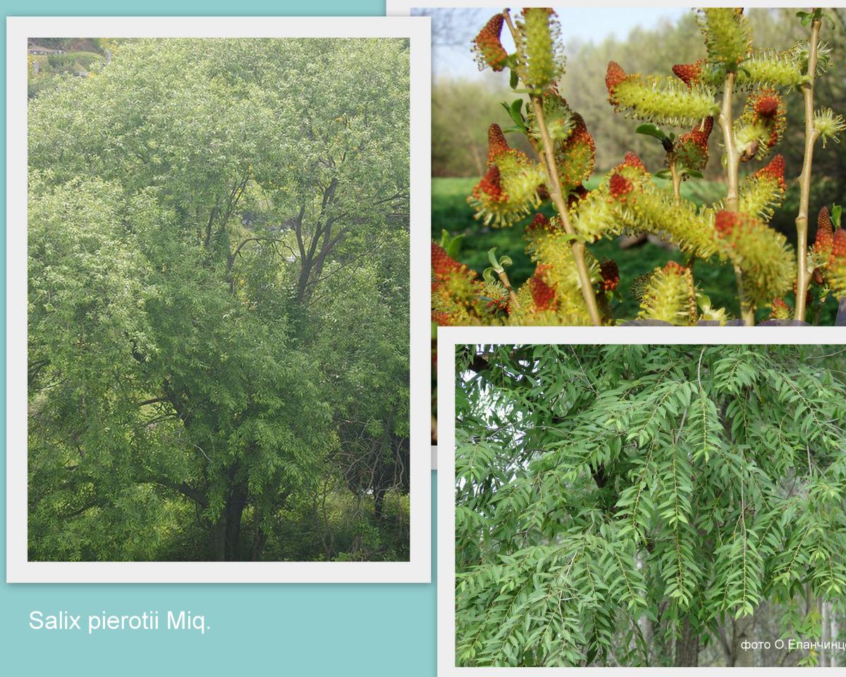 Ива Пьеро Salix pierotii Miq.