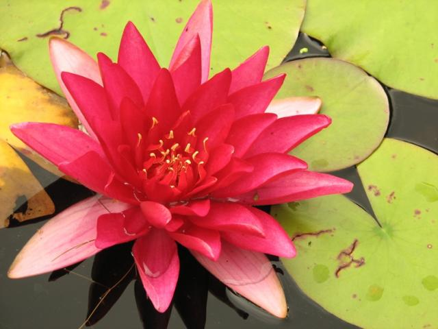 Nymphaea «Red Queen»