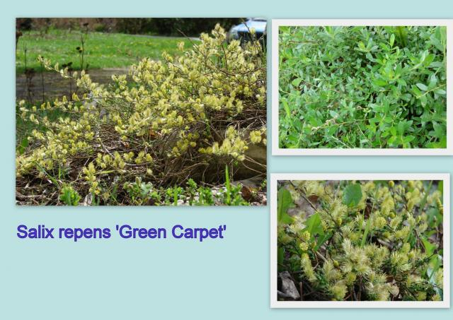 S. repens 'Green Carpet'