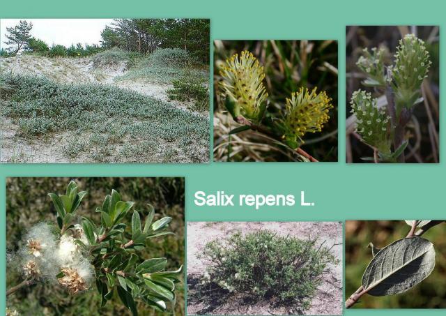 Ива ползучая — Salix repens