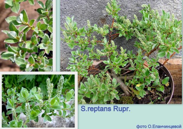 Ива ползучая — Salix reptans Rupr.