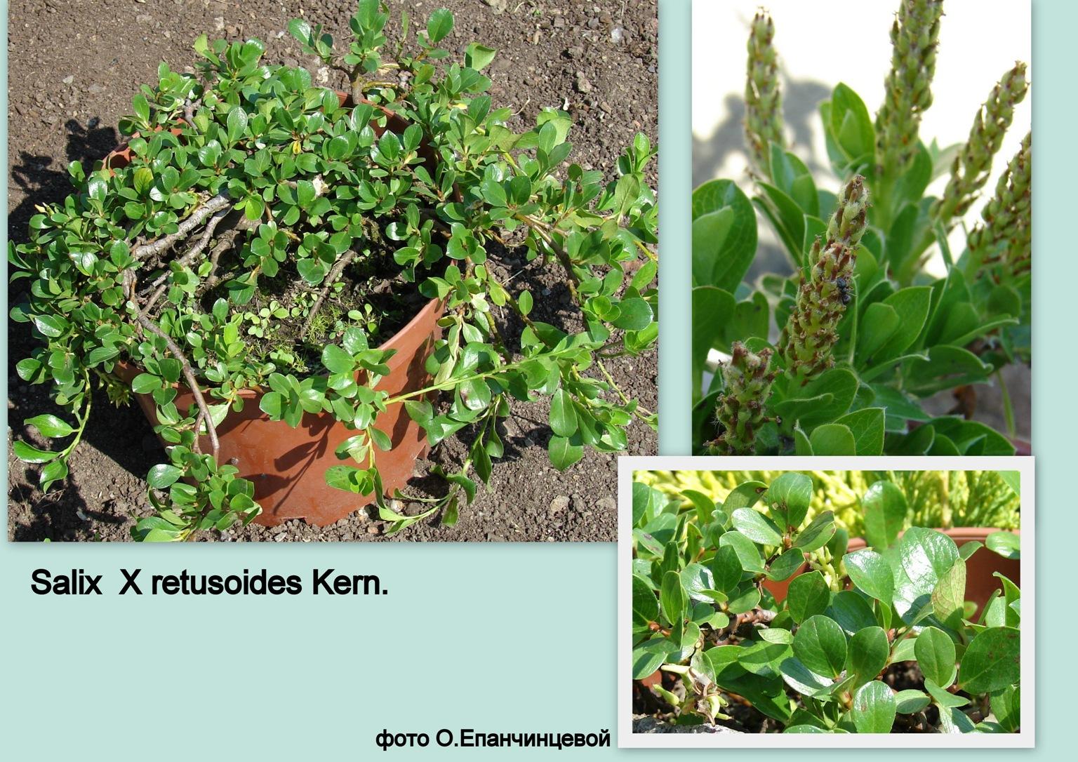 Salix  x retusoides Kern.
