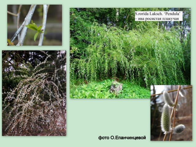 Ива росистая Salix rorida