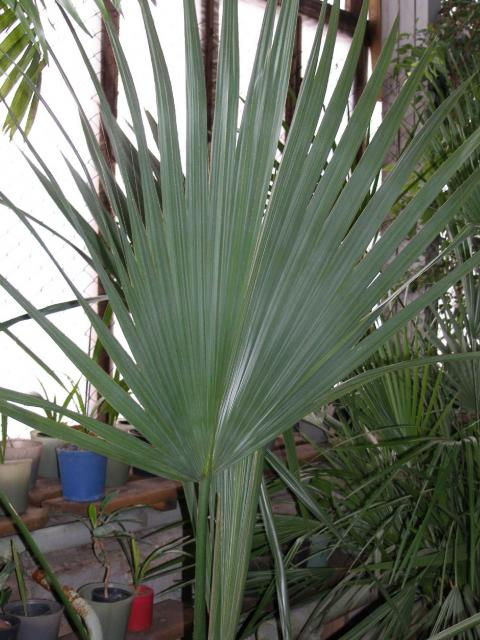 Sabal blackburniana