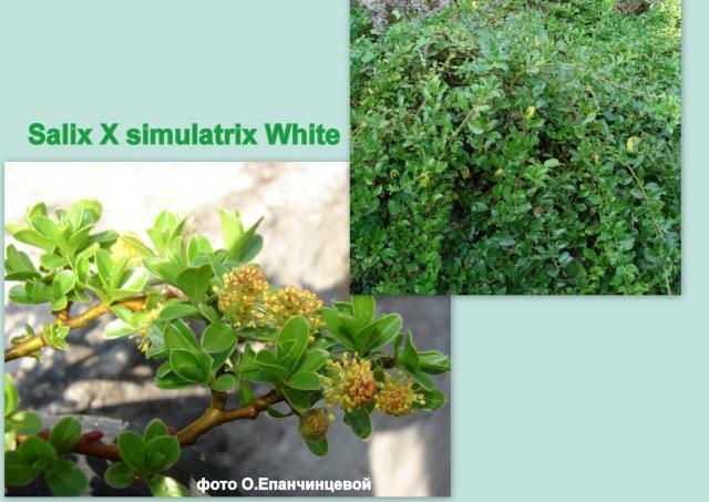 Salix x simulatrix White