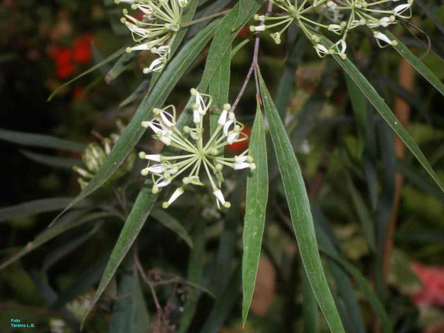 Stenocarpus salignus