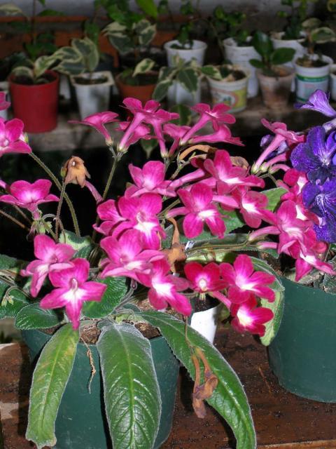Streptocarpus hybridus