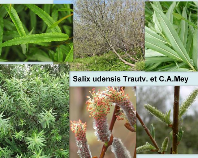 Salix udensis Trautv. et C.A.Mey. – Ива удская